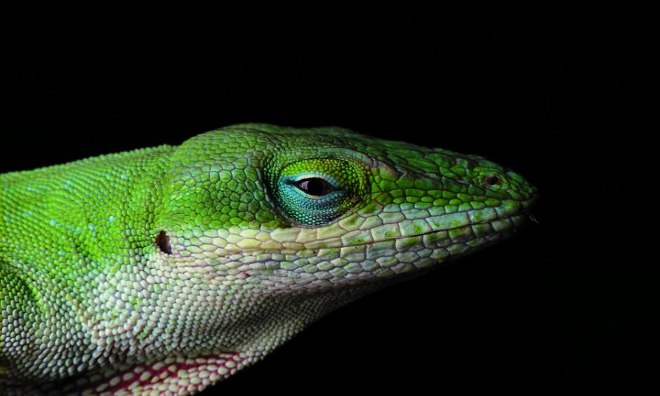 Green anole lizard. Photo: Piccolo Namek, WikiCommons