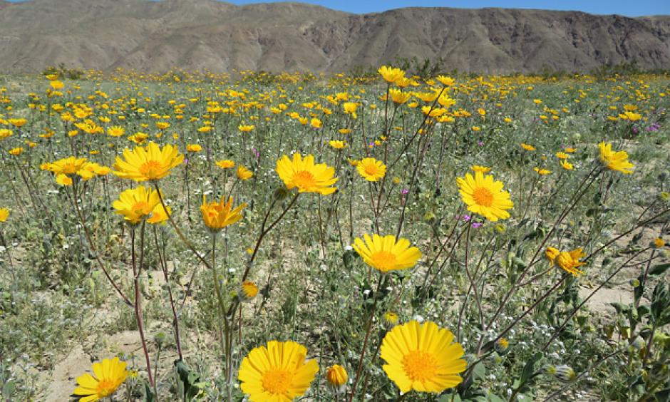 WIldflowers blooming in Anza Borrego Desert Park on March 12, 2017. Photo: Kyle Magnuson, via Creative Commons license