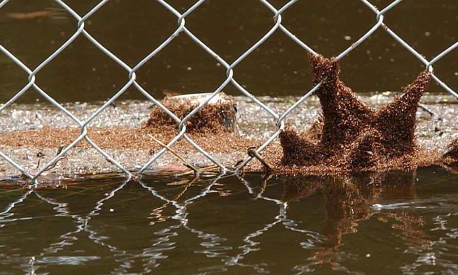 A swarm of fire ants clings to a chain-link fence and floating debris in 2004 in Lithia, Fla. Photo: Chris O'Meara, AP