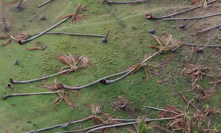 Coconut palms toppled by Hurricane Matthew lay in the countryside near Jeremie, southwestern Haiti, Oct. 14, 2016. Photo: Rebecca Blackwell, AP