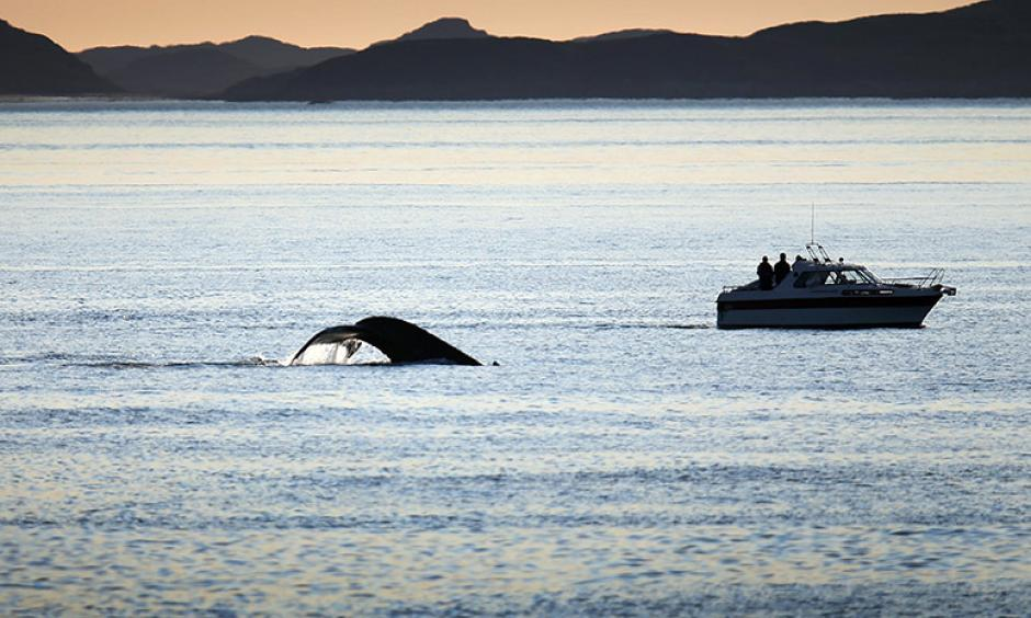 Boats follow a whale as it swims in the water on July 27, 2013, in Nuuk, Greenland. Photo: Joe Raedle, Getty Images