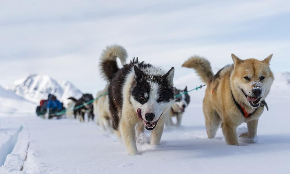 Known as passionate runners, Arctic sled dogs come under threat of diminishing population due to global warming. Photo: Markus Trienke, CC BY-NC-ND 2.0