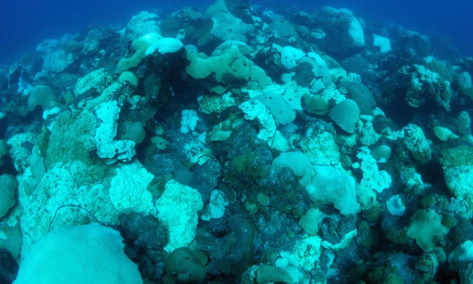 Bleaching and paling coral colonies at East Flower Garden Bank on October 5, 2016. Photo: Hickerson, FGBNMS