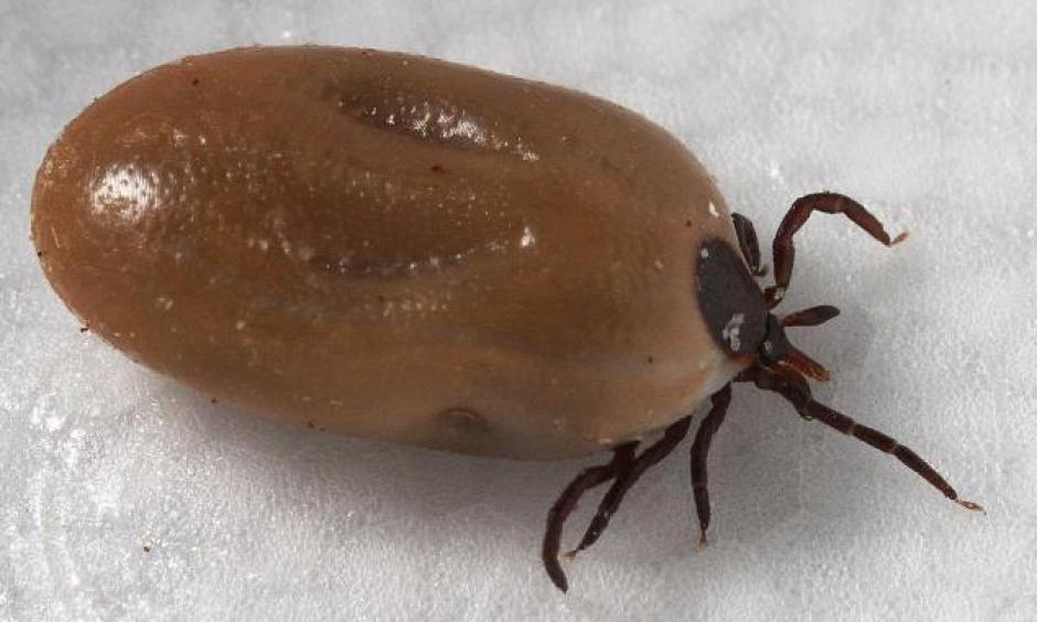 Blacklegged tick (Ixodes scapularis) engorged with a meal of blood. Photo: CDC/ Dr. Gary Alpert, Urban Pests, Integrated Pest Management