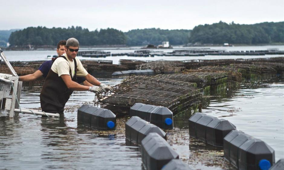 Shellfish farmers check cages in the Damariscotta River, where Mook Sea Farm grows oysters for market and restaurants. Photo: Bill Mook