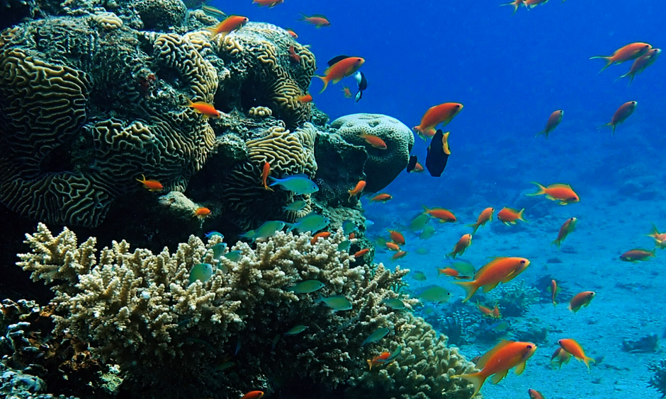 Coral reefs show that hidden genetic diversity can prepare ecosystems for climate change. Photo: Prof. J. Wiedenmann, University of Southampton, UK
