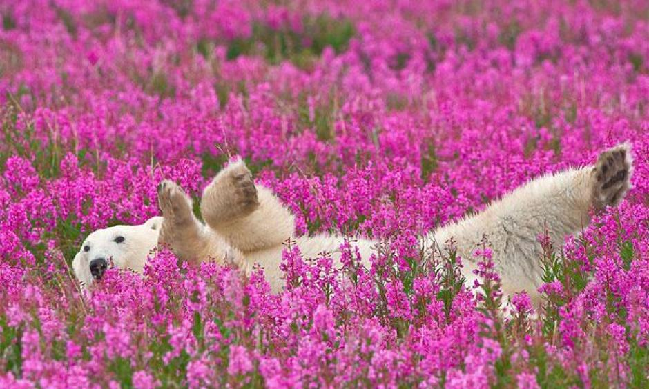 Polar Bear spotted playing in flower fields in Churchill, Manitoba. Photo: Dennis Fast