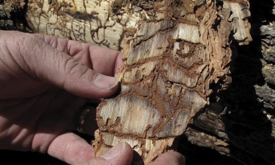 In this June 6, 2016 file photo, Division Chief Jim McDougald of the California Department of Forestry and Fire Protection holds a piece of tree bark showing burrowing marks from a bark beetle infestation near Cressman, Calif. Photo: Scott Smith / AP