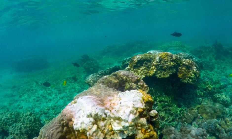 This Sept. 12, 2019 photo shows bleaching coral in Kahala'u Bay in Kailua-Kona, Hawaii. Just four years after a major marine heat wave killed nearly half of this coastline's coral, federal researchers are predicting another round of hot water will cause some of the worst coral bleaching the region has ever seen. Photo: Caleb Jones, AP