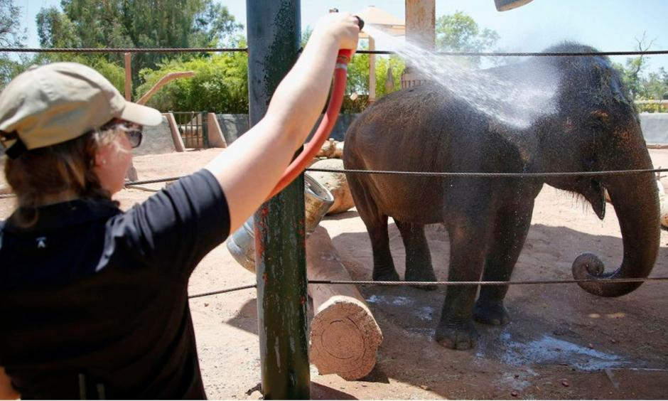 Sheena, a Asian elephant, gets a cold water spray shower from elephant keeper Corey Barr, at the Phoenix Zoo on June 2, 2016, in Phoenix. Photo: Ross Franklin, AP