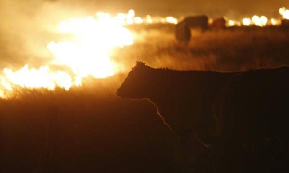 Cattle graze by a wildfire near Protection, Kansas, early March 7, 2017. Photo: Bo Rader, AP