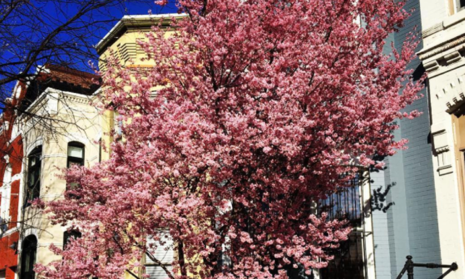 Pink blossoms arriving ahead of schedule on Feb. 25, 2017 in Washington D.C. Photo: samoliverrr, Instagram