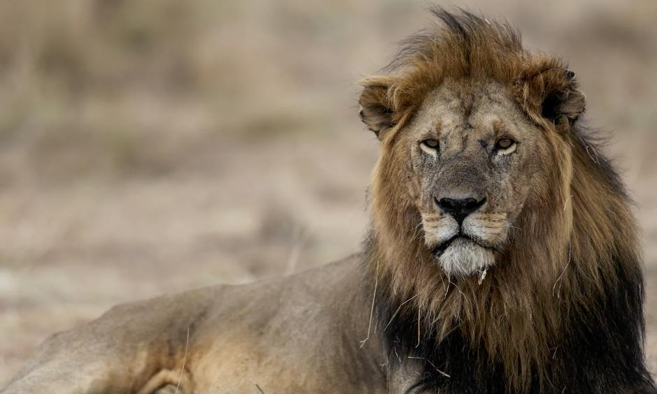 'The lion was historically distributed over most of Africa, southern Europe and the Middle East. Now the vast majority of lion populations are gone.' Photo: Xinhua/Barcroft Images