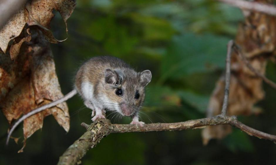 The white-footed mouse. Photo: Cary Institute of Ecosystem Studies