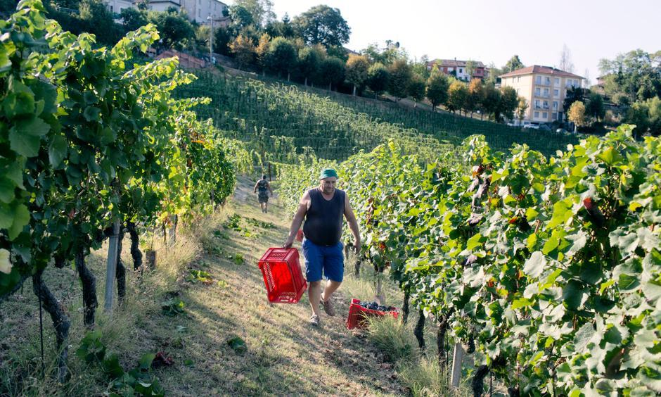 Donneschi Zvonko, 49, harvesting pinot nero grapes in Neive. Due to the high temperatures this year, the winemaker Castello di Neive has started harvesting the grapes three weeks earlier than usual. Photo: Alessandro Penso, New York Times