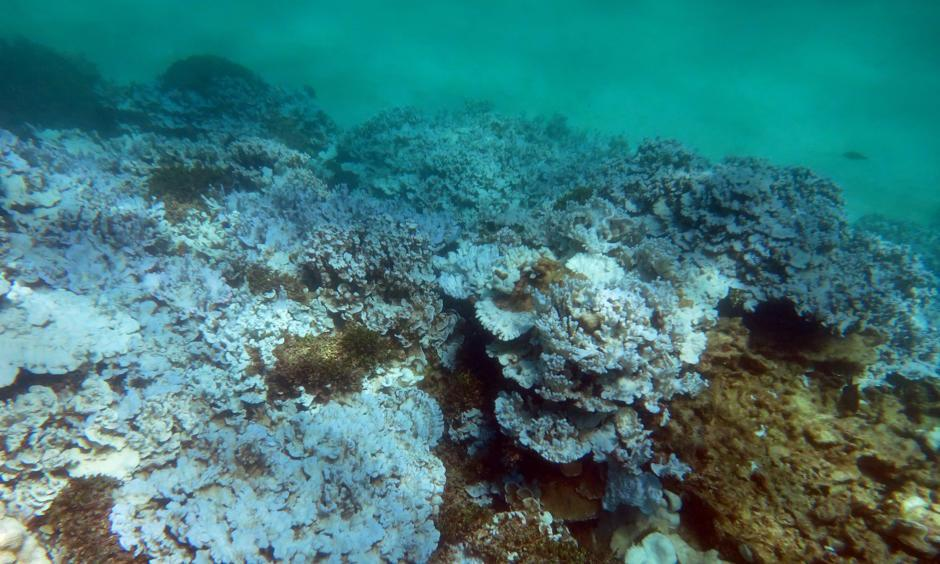 Extensive stand of severely bleached coral at Lisianski Island in Papahanaumokuakea Marine National Monument (Hawaii) documented during an August 2014 NOAA research mission. Photo: NOAA