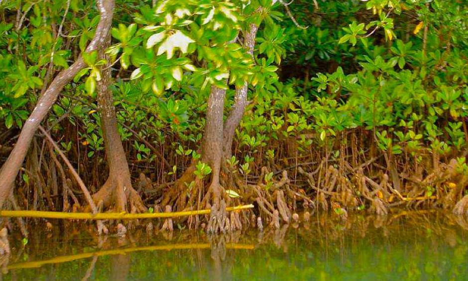 Photo: mangrovesforfiji.com