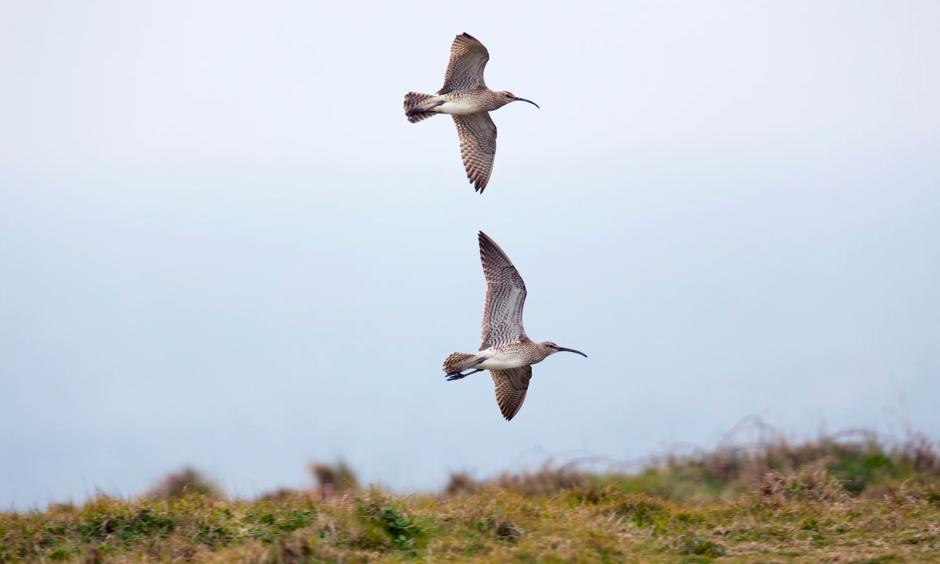 Rarer birds like the whimbrel have seen population declines. Photo: David Chapman, Alamy/Alamy