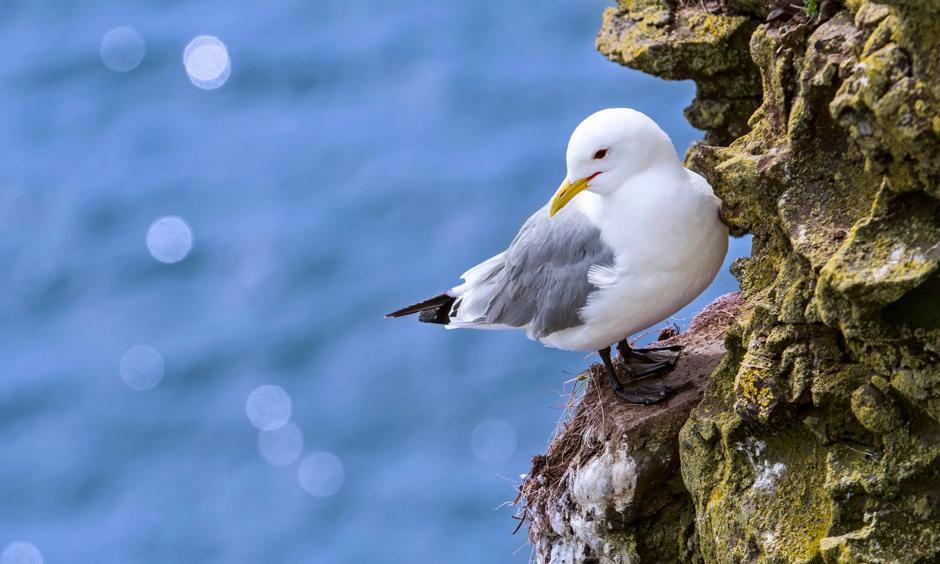 'Disastrous chick survival rates': a black-legged kittiwake rests on a rock ledge in Scotland, UK. Photo: Alamy