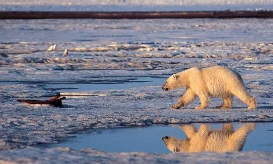 In this undated file photo, a polar bear is shown in the Arctic National Wildlife Refuge in Alaska. Photo: Subhankar Banerjee, AP