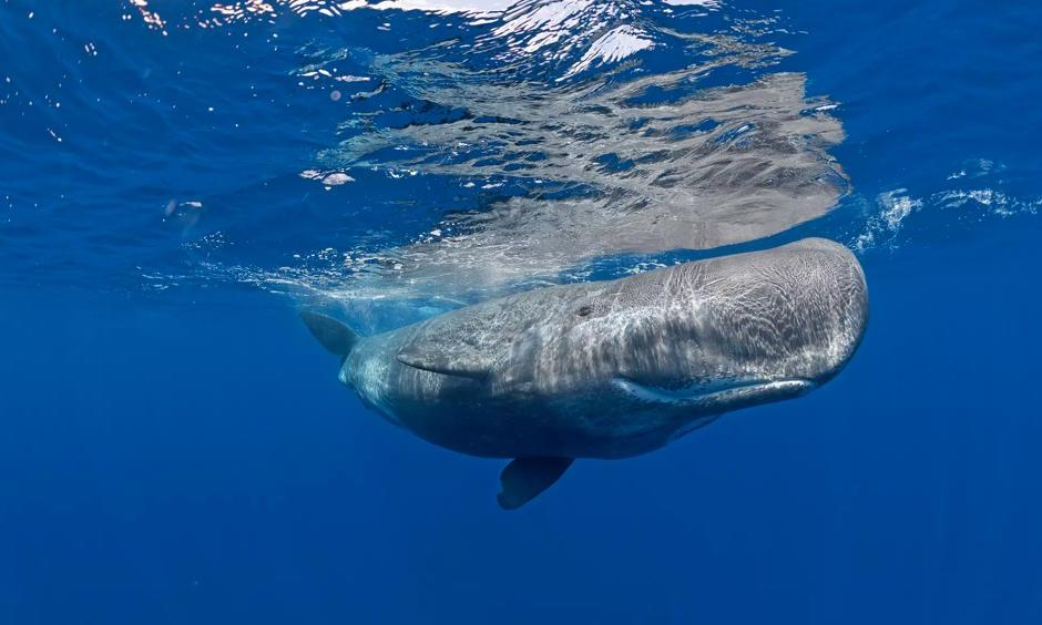 Sperm whales were spotted in the Canadian Arctic. Photo: SeaTops, Getty Images, imageBROKER RF