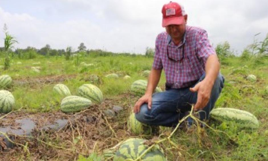 Mobile County farmer Jeremy Sessions inspects watermelons following rainfall from Tropical Storm Cindy.