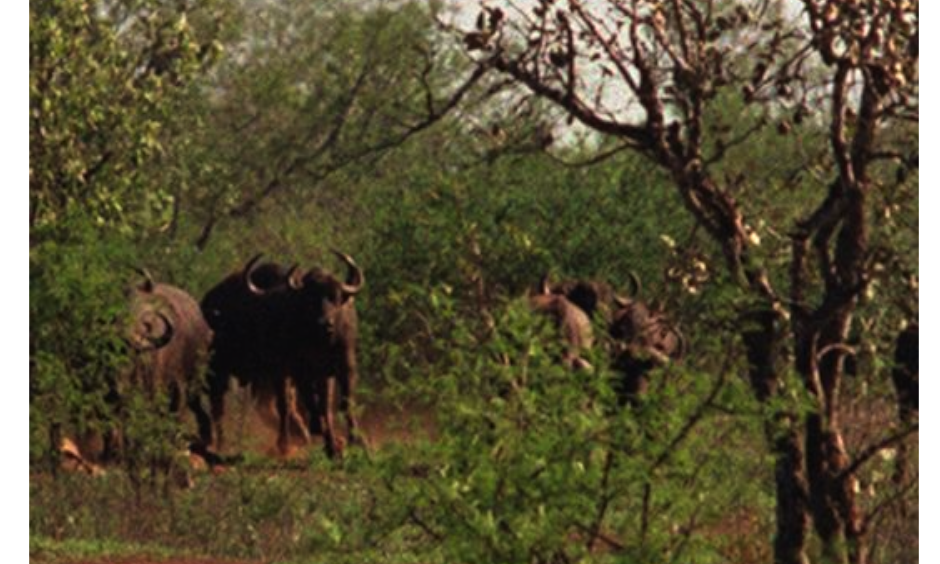 Cape buffalo are darted from a helicopter. Photo: Adil Bradlow, Associated Press