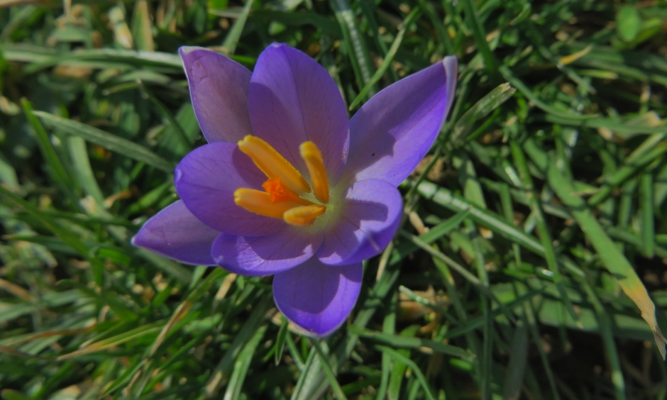 Spring in February? A crocus blooms in Dravosburg, Pennsylvania on February 20, 2017. Photo: Wunderphotographer gingyb