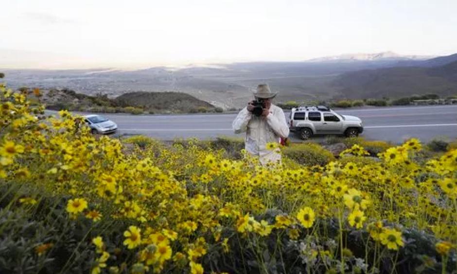 Retired California state park ranger Jim Long, of San Clemente, Calif., takes pictures among blooming desert shrubs in Borrego Springs, Calif., on March 27, 2017. Photo: Gregory Bull, AP