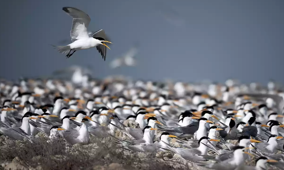 While most species aren't able to move as far as terns, scientists are noticing shifts across Alaska. Photo: Mohammed Al-Shaikh/AFP/Getty Images