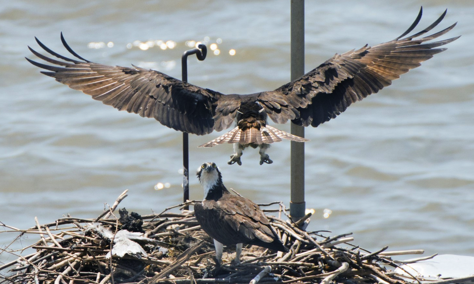 A juvenile male osprey (top) with his mate have returned to nest beneath the South Capitol Bridge on the Anacostia in Washington. Photo: Linda Davidson, The Washington Post