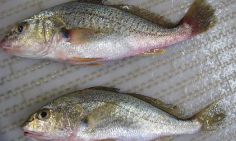 Atlantic croaker (Micropogonias undulates, Sciaenidae) were used as the fish species in the modeling study. Photo: NOAA