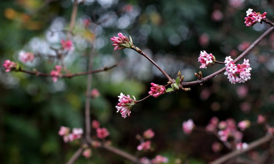 """A Viburnum x bodnantense """"Dawn"""" flower at the New York Botanical Garden. An official at the garden said the blooming in December was unusual. Credit Yana Paskova for The New York Times"""