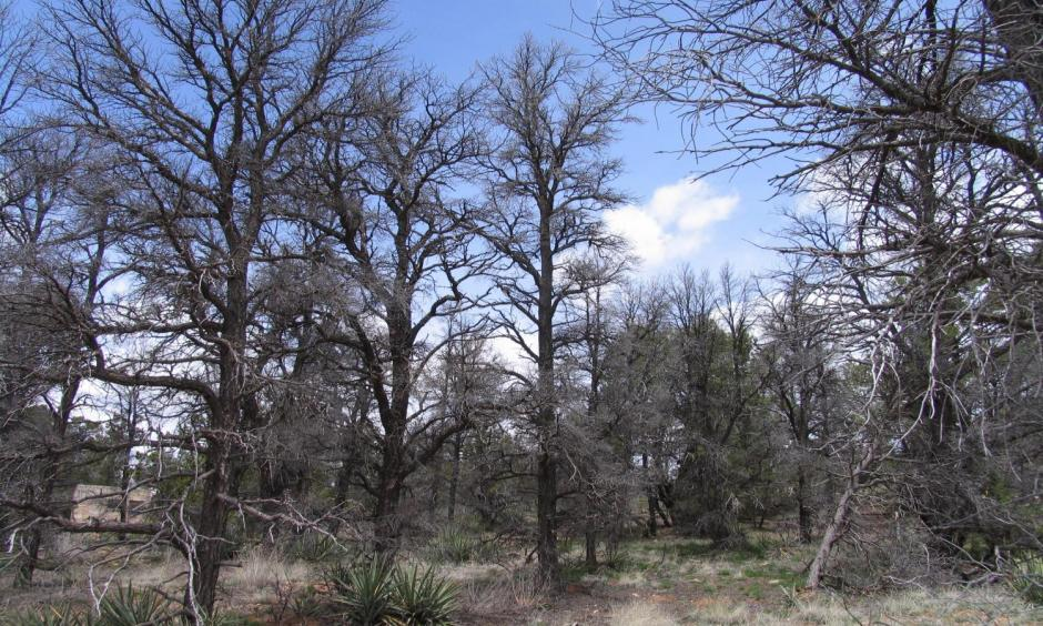Drought has left little but skeleton trees in a forest of pinons in the US Southwest. Photo: USGS