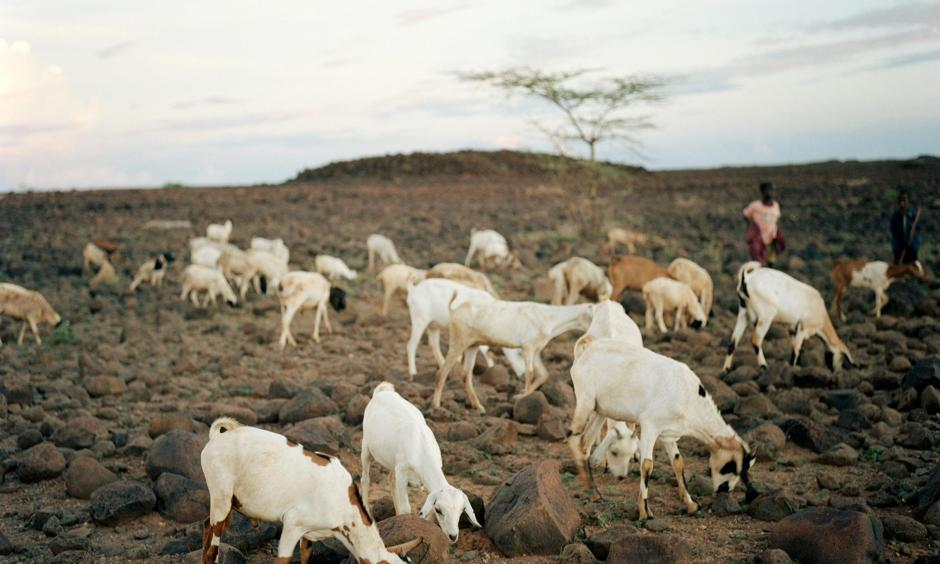 Goats graze on a hillside in Kalacha, Kenya, after rain brought some relief from a grueling three-year drought. Photo: Gideon Mendel, Corbis via Getty Images