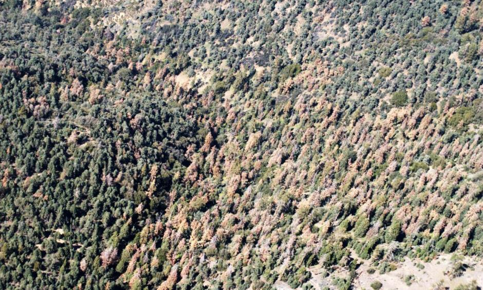 Dead pine trees dominate a hillside in the Los Padres National Forest, north of Frazier Park. Photo: US Forest Service