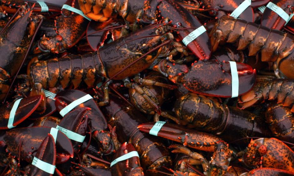 Lobster used to be abundant in Connecticut. Not anymore. Photo: Courtesy Doug Cotnoir