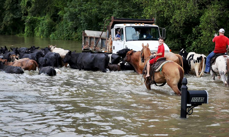Cattle had to be driven through the waters of a flooded road, and then trucked to higher ground on Aug. 16, in Sorrento, La. About a third of the flooding in the state last month occurred outside the local flood plain. Photo: Joe Raedle, Getty Images
