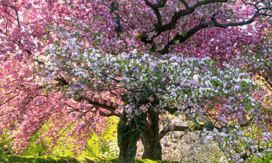 A recent federal study found that spring is arriving as many as 20 days early in the southwestern United States—and even as far north as the New York Botanical Garden, where this tree blooms. Photo: Diane Cook and Len Jenshel, National Geographic Creative