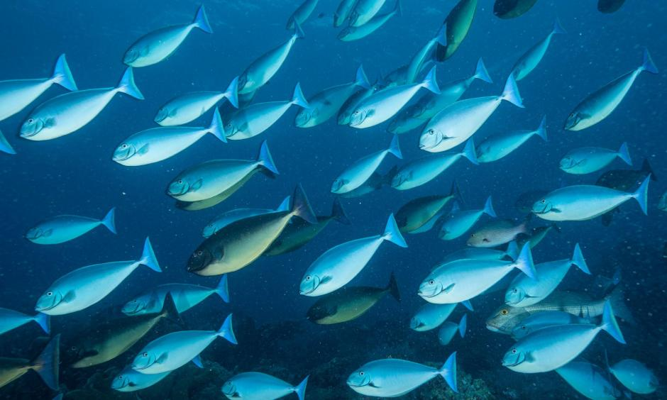 A school of surgeon fish swim in Tubbataha Reefs Natural Park. Photo: David Doubilet, Nat Geo Image Collection