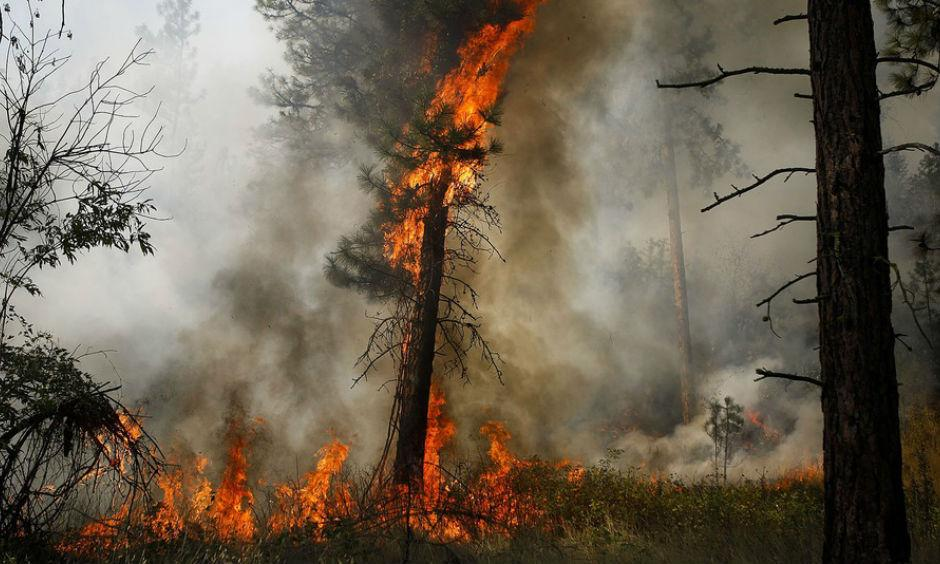 A tree is engulfed in flames during a controlled burn near a fire line outside of Okanogan, Wash., on August 22 2015. Photo: Ian Terry, The Herald, AP