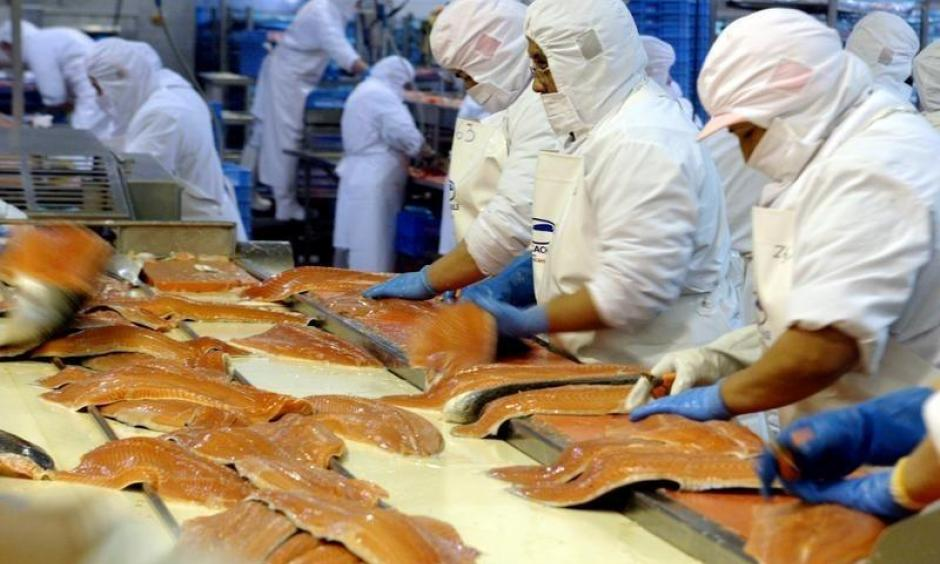 Chilean workers process farmed salmon in a plant in Puerto Ibanez near the town of Aysen, in the Chilean Patagonia region, some 1660 km (1031 miles) south of Santiago. Photo: Reuters