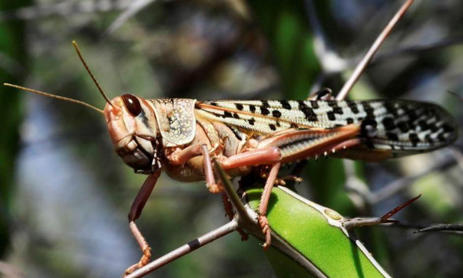 climate change is driving the East African locust invasion