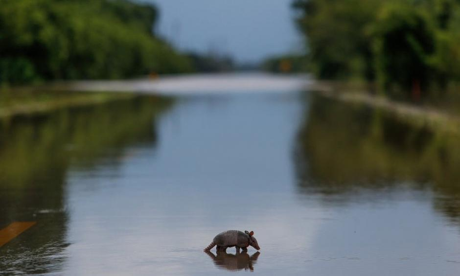 A lone armadillo moves across a flooded roadway in Booth, Texas on Wednesday, June 1, 2016. Rising waters forced residents to evacuate their homes and buildings. Photo: Michael Ciaglo, Houston Chronicle