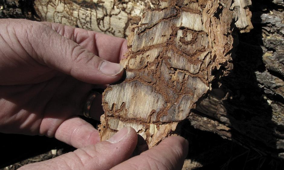 In this June 6, 2016 photo, Division Chief Jim McDougald of the California Department of Forestry and Fire Protection holds a piece of tree bark showing burrowing marks from a bark beetle infestation near near Cressman, Calif. Photo: Scott Smith, Associated Press