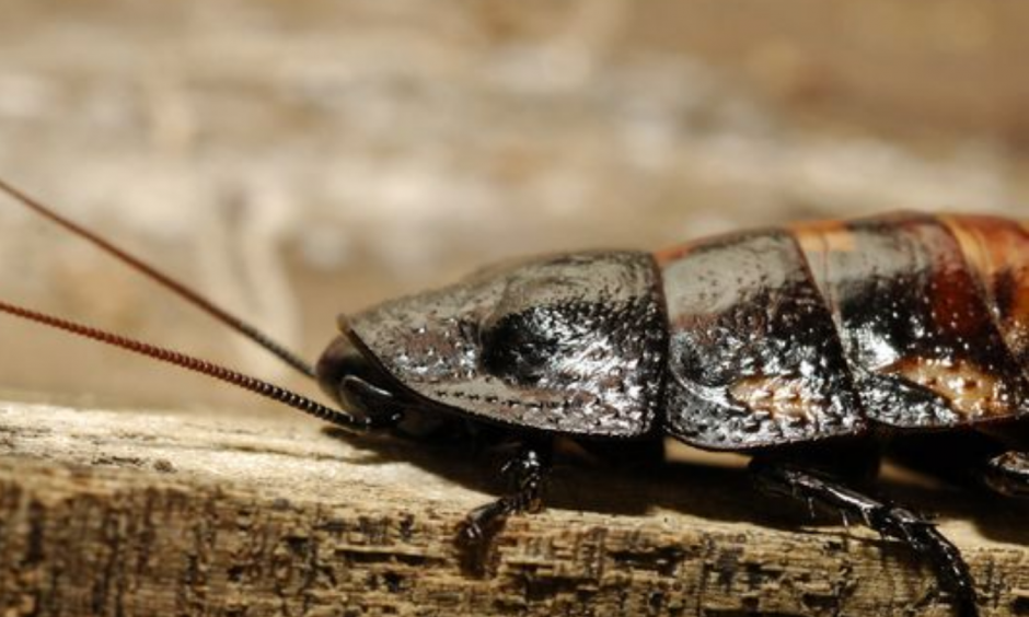 Cockroaches rarely take flight. But, when they do, temperatures must be high. Photo: Julie Larsen Maher, AP