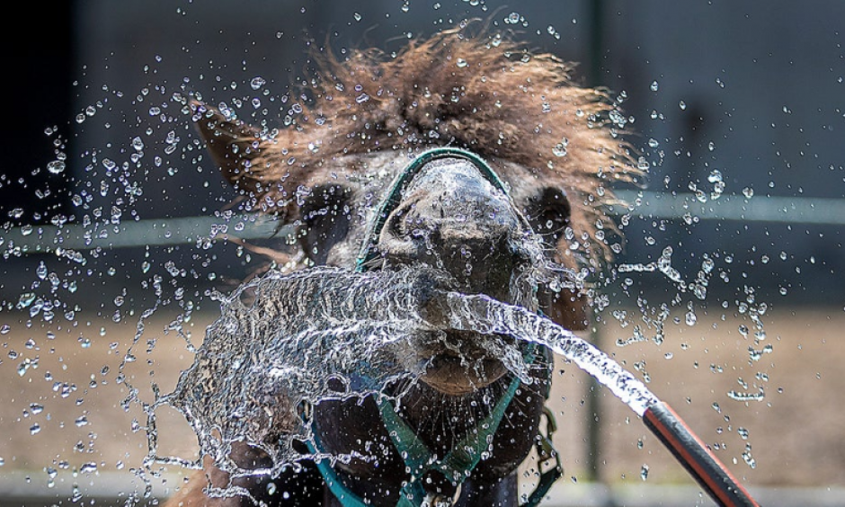 An Icelandic horse is sprayed with water in Wehrheim near Frankfurt, Germany, on a hot and sunny Wednesday, June 26, 2019. Zoo animals are being given cold water and special treats to help them beat the heat. Credit: Michael Probst, AP