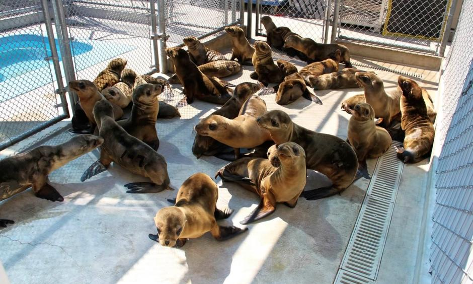 Emaciated juvenile sea lions undergoing rehabilitation at the Marine Mammal Center in California. Their plight is thought to have been triggered by the unusually warm water conditions that persist in the coastal Pacific Ocean, upsetting the usual food web upon which sea lions and other wildlife depend. Photo: NOAA Fisheries