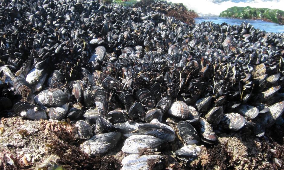 Mussel beds at Bodega Marine Reserve. Photo: Laura Jurgens