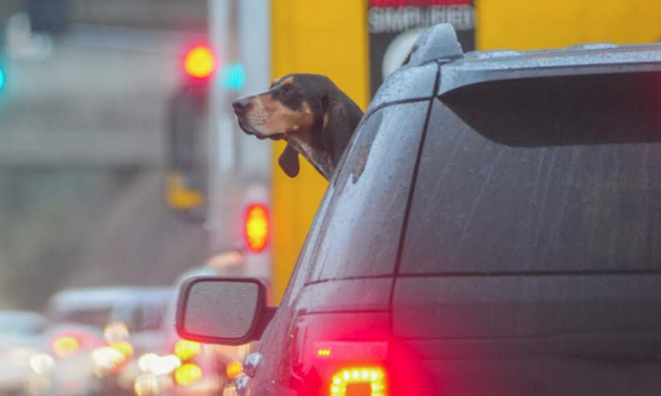 Rain wasn't bothering this hound as he was riding on Highway 108 near Lime Kiln Road. Photo: Maggie Beck, Union Democrat